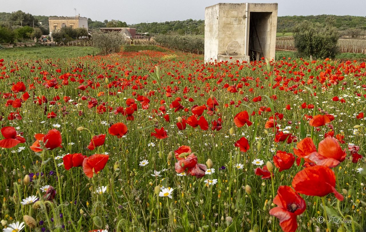 """""""Dormi sepolto in un campo di grano   non è la rosa non è il tulipano   che ti fan veglia dall'ombra dei fossi   ma sono mille papaveri rossi."""" (Fabrizio De Andrè)"""