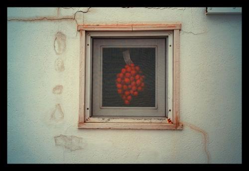 """FINESTRA PUGLIESE 2021 - i contadini raccoglievano i pomodori stando attenti a non staccare il peduncolo poi legavano, un pomodoro per volta, il filo di cotone attorno al peduncolo per ottenere le """"catenelle"""", piccoli grappoli di pomodori.Le """"catenelle"""" ottenute con il filo di cotone si univano con lo spago di canapa in un unico grappolo più grande per ottenere la """"ramasola"""" che veniva appesa sotto le bianche volte o alle finestre delle masserie e delle case contadine e conservata per l'inverno."""